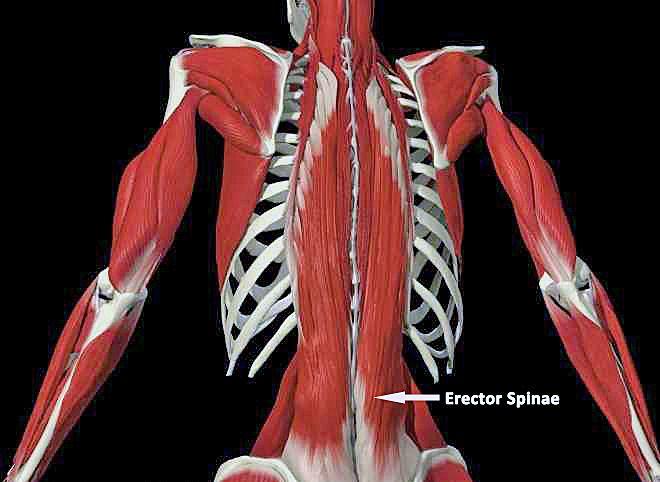 mm_erector_spinae-2